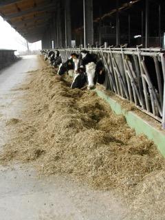 Efficienza alimentare nelle bovine da latte